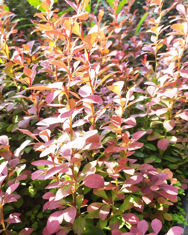 紫叶小檗(波)