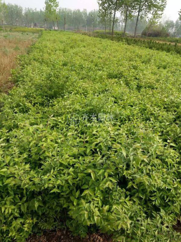 河北金银木小苗种的多不多?