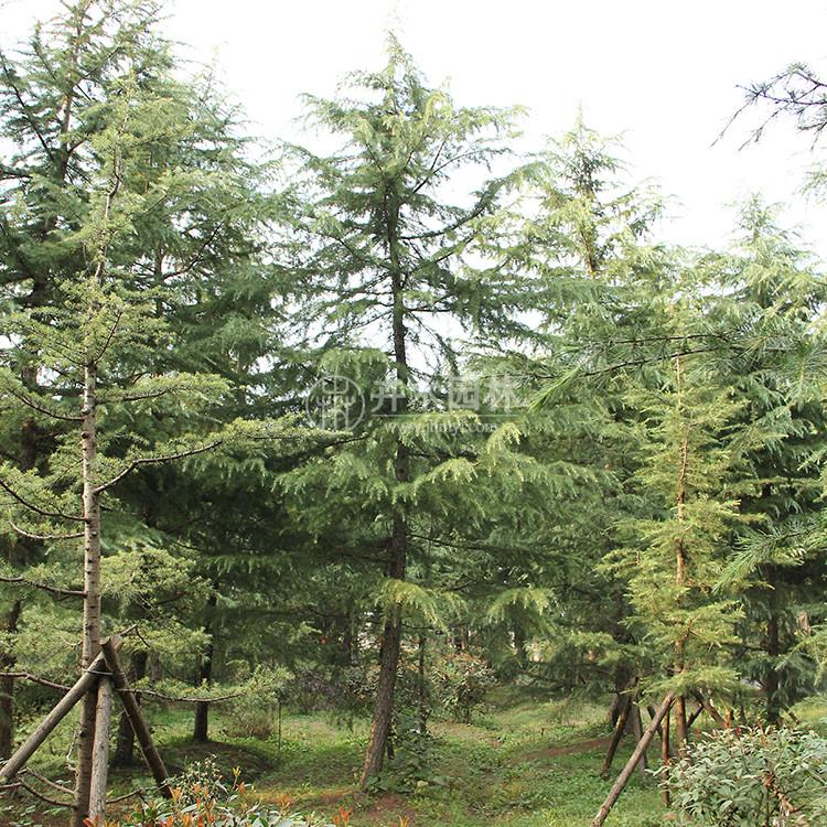 河北雪松、桧柏等绿化苗木仍供不应求