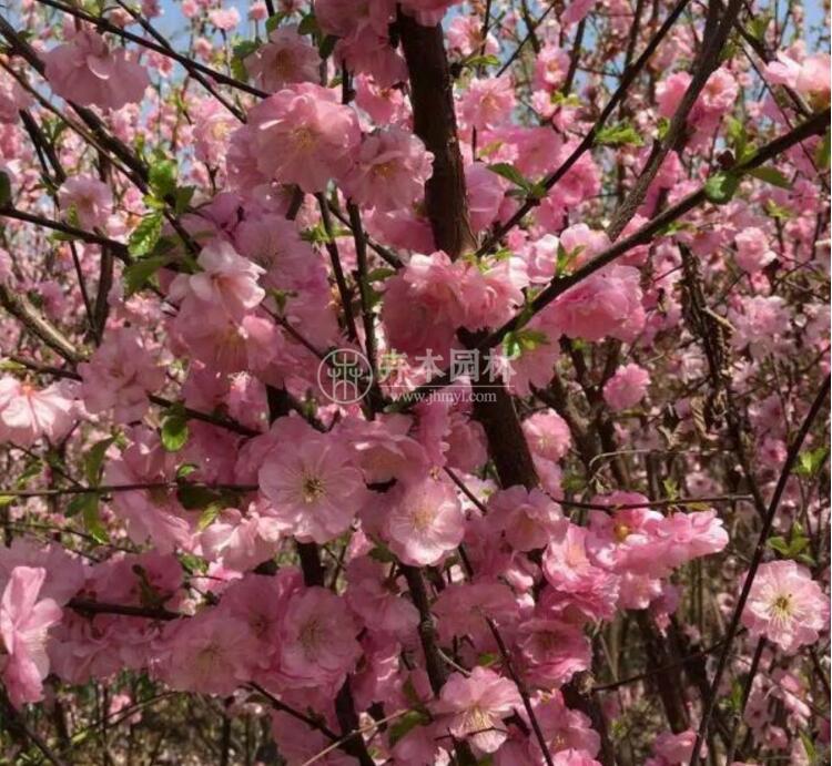 论榆叶梅的价格行情和生长特性